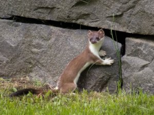 A Stoat. Photography by TomiTapio http://www.deviantart.com/art/Stoat-I-really-love-this-wall-86228605