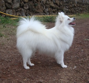 A white Kleinspitz (Source) http://www.kleinerharlekin.com/pages/news.php