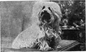 Mrs. Stallibrass's Maltese, Santa Klaus. Early 20th century. (Source) http://chestofbooks.com/animals/dogs/Dog-Shows/Mrs-Stallibrass.html#.UoSiT-Iat8E