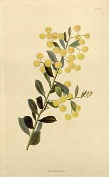 Flowers of the Box-leaf wattle, Acacia buxifolia