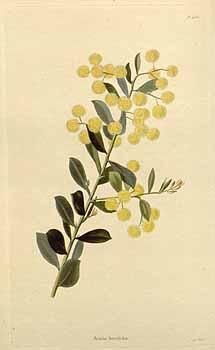 Flowers of the Box-leaf wattle, Acacia buxifolia