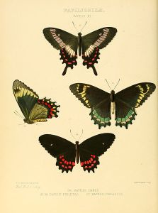 Parides phalaedas (and its subspecies)