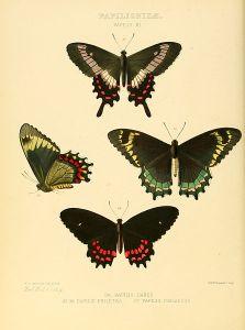 Parides phalaedas (and its subspecies)